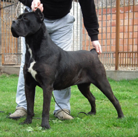 arka custodi nos old world cane corso