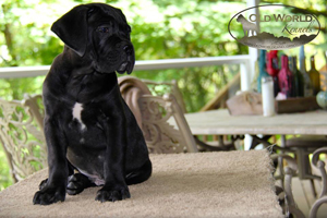 cane corso puppy old world