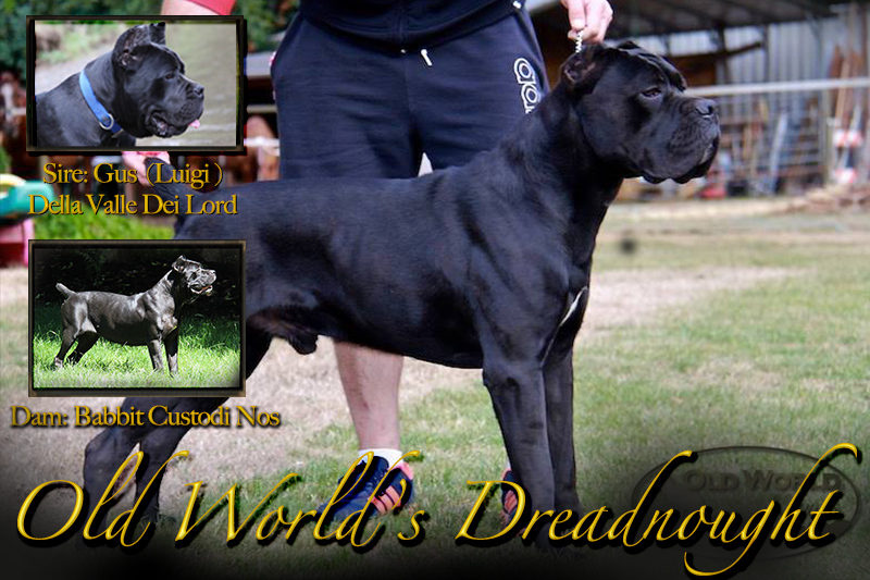 old world cane corso puppy dreadnought