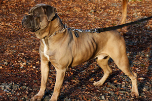 hercules cane corso old world