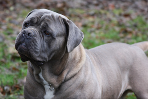 cane corso, rustic, breeder, puppies, blue, old world