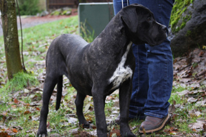 cane corso, cane corso breeder, black cane corso, Rothorm, Old World