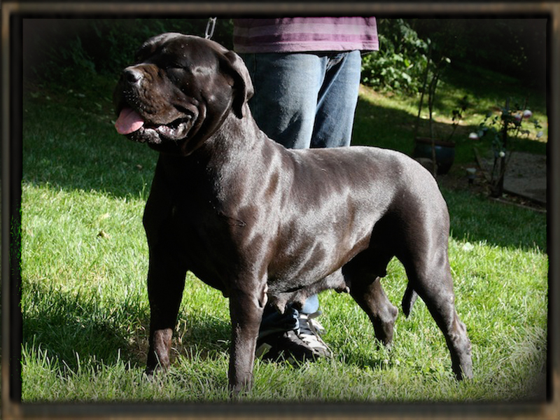 old world show cane corso