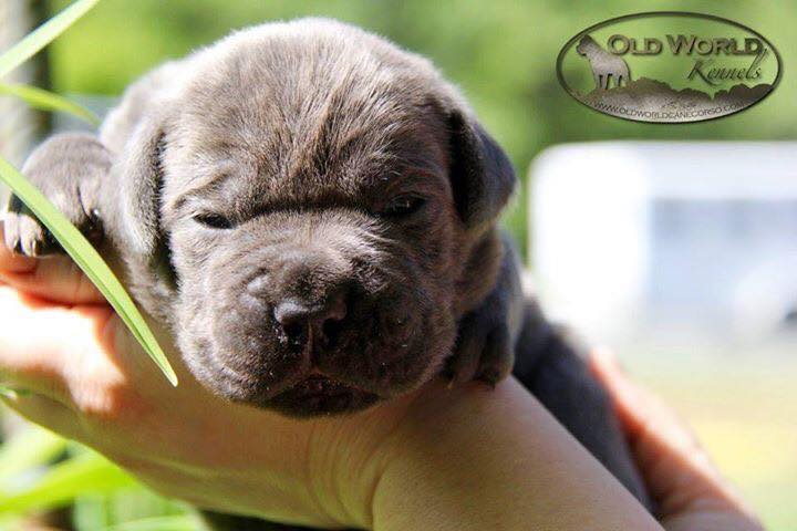 Old World Cane Corso Puppies