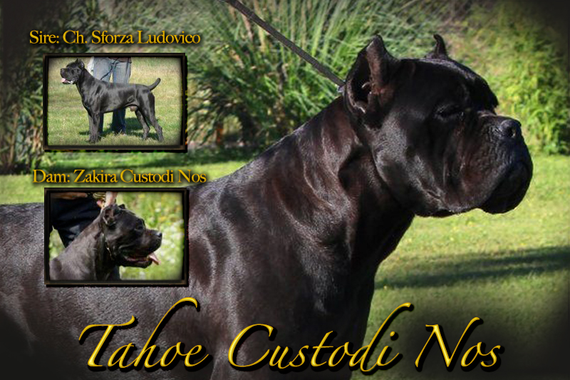 tahoe custodi nos old world cane corso