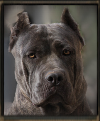 Old World Cane Corso Dogs