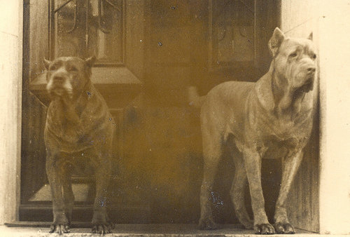 cane corso old world history